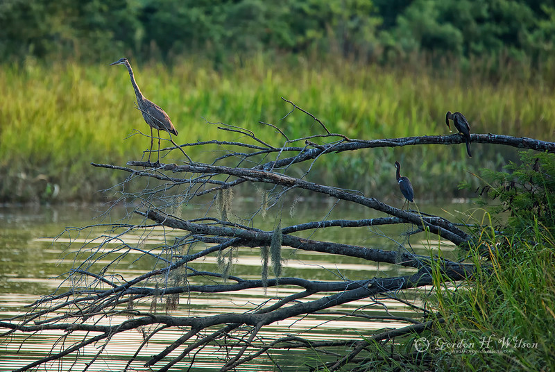 "Savannah  National Wildlife Refuge,   ""Fishing Buddies"""