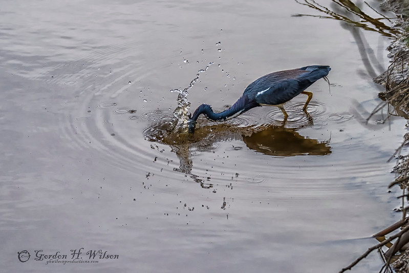 Got To be Quick, Tricolored Heron, Savannah National Wildlife Refuge