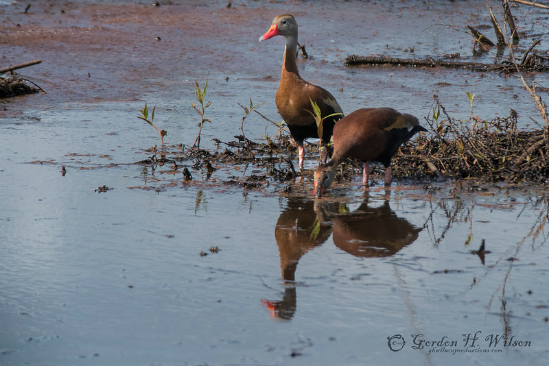 Black-bellied Whistling-Duck, SNWR