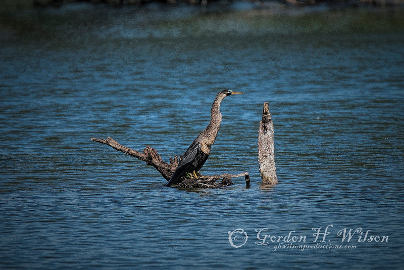 Anhinga also called Snakebird, Harris Neck NWR