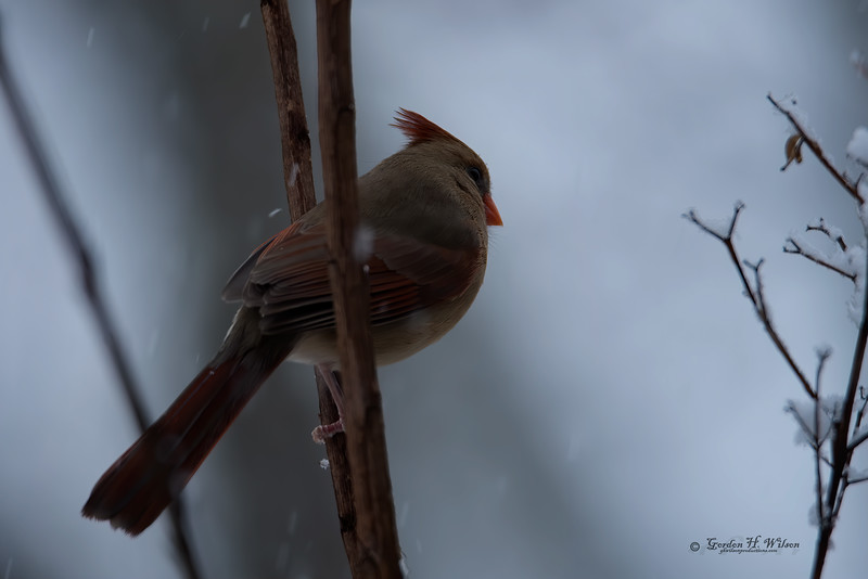 Cardinal bracing against the cold.