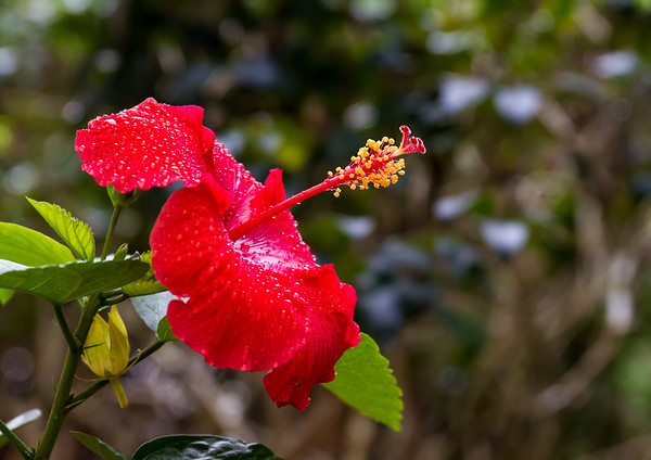 October Hibiscus
