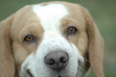 Biscuit the Beagle