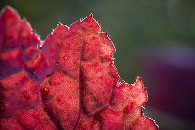 Heucher leaf