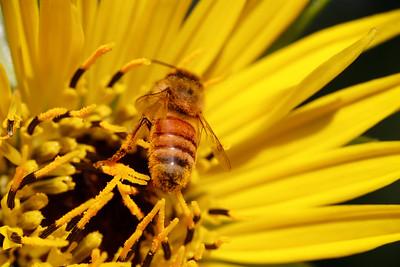 Silphium laciniatum with bee