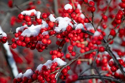 Ilex verticillata in snow