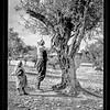 Trimming olive trees in Palestine.  1934-1939
