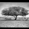 Acacia tree in the desert near Asluj.  1930-1933