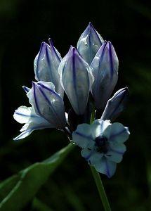 Douglas's Triteleia -  Triteleia (Brodiaea) douglasii -  Lily Family