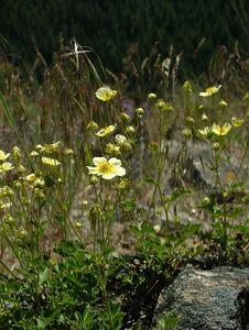 Slender Cinquefoil - Potentilla gracilis - Rose Family
