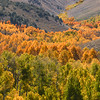 Aspens Along the Draw, Conway Summit