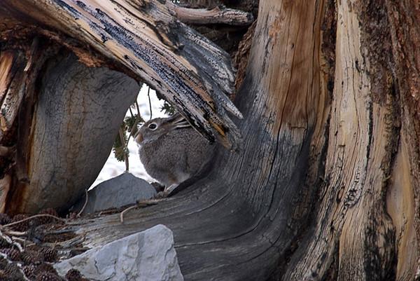 Bunny Hiding In Bristlecone