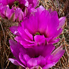 Pink Cactus Flower Along Highway 168