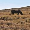 Lone Horse Surviving in Ancient Bristlecone Pine Area