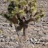 Joshua Trees #9896