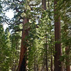 Sequoias, Mariposa Grove