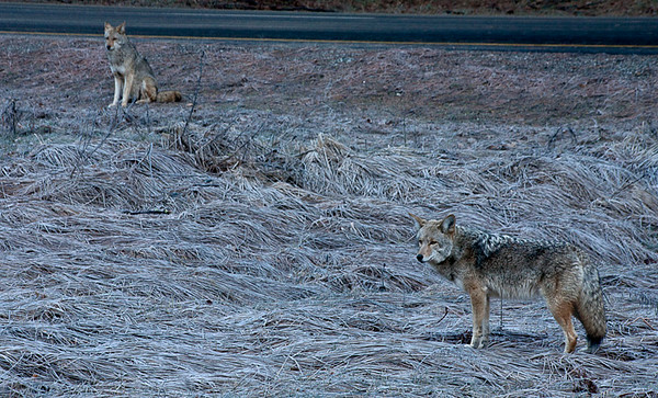 Yosemite Coyotes On A Frosty Morning