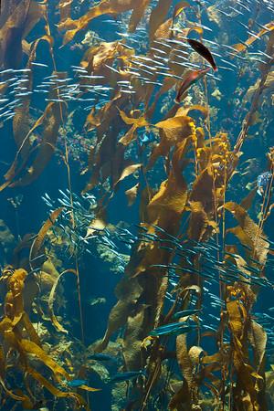 Monterey Bay Aquarium (kelp display)