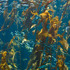 Monterey Bay Aquarium (kelp display)