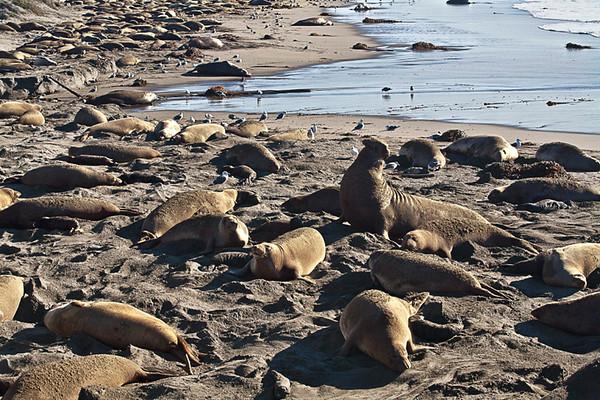 Sea Lions (Año Nuevo State Reserve)