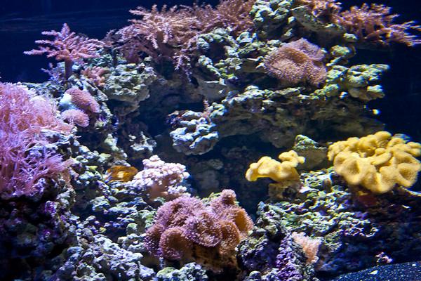 Monterey Bay Aquarium (corals)