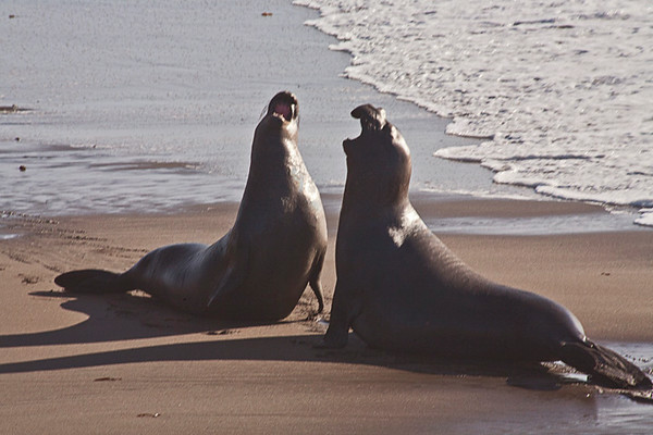 Friendly Discussion-Sea Lions (Año Nuevo State Reserve)