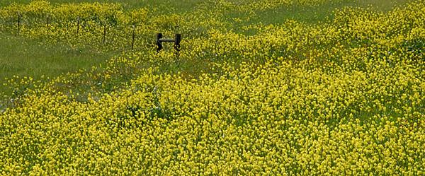 Bitterwater Road Mustard