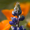 Lupine Amid Poppies (Shell Creek Road)