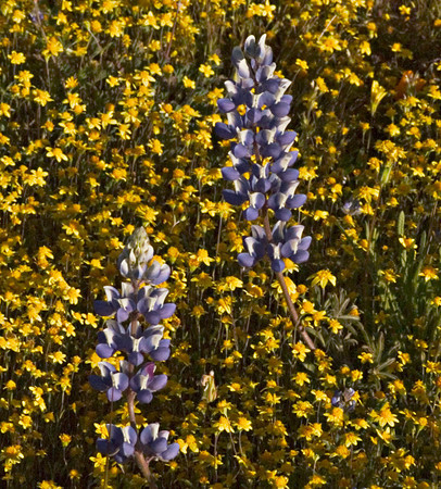Flowerscape in Lavender & Gold (Shell Creek Road)