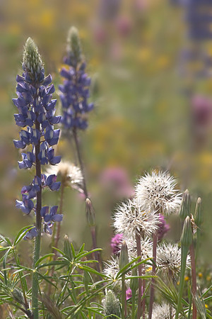 Dandelions & Lupine in Cottonwood Canyon