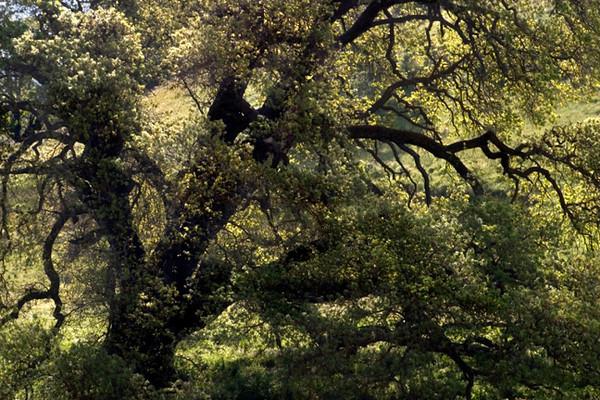 Oak Tree (Bitterwater Road)