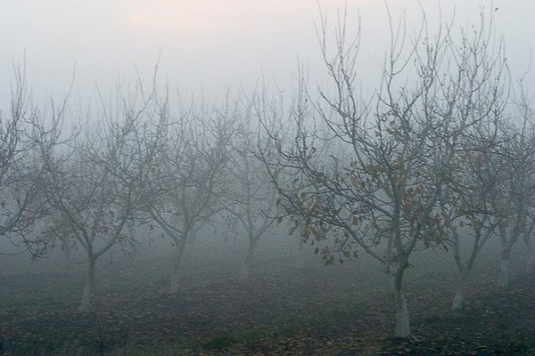 Winter Orchard In Evening Fog