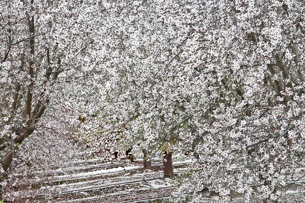 Almonds #0971