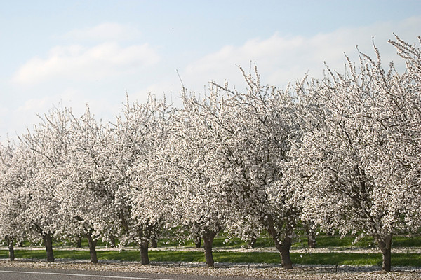 Almond Orchard (Central Valley)