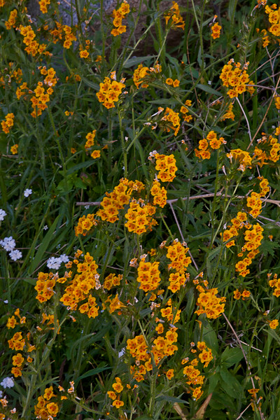 Tiny Wildflowers Paint the Hills Orange