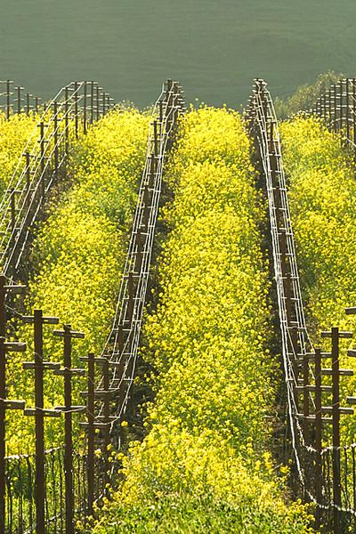 Mustard In The Vineyard