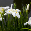Iris, Japanese Tea Garden