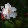 Azalea Blossom, Golden Gate Park