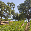 Oaks & Vineyards Go Together Well, Sweetwater Road