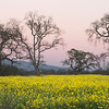 Evening in the Mustard Patch, Sebastopol