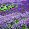 Abstract in Lavender