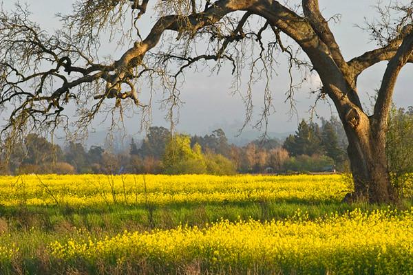 Sonoma Poem In Yellow, Sebastopol