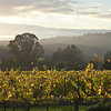 Evening Glow in the Vineyard