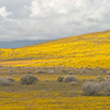 There's Gold On Them Thar Hills (Antelope Valley Poppy Reserve)