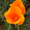 California Poppy at the Antelope Valley California State Poppy Reserve