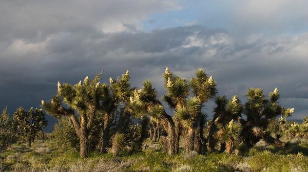Joshua Trees in Bloom (Along Hwy 138)