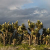 Joshua Trees in Bloom (Along Hwy 138)