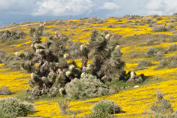 Joshua Trees Near The Poppy Reserve