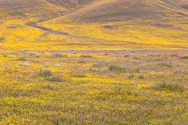 Antelope Valley California State Poppy Reserve