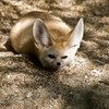 The Better To Hear You With, My Dear, Fennec Fox, Living Desert